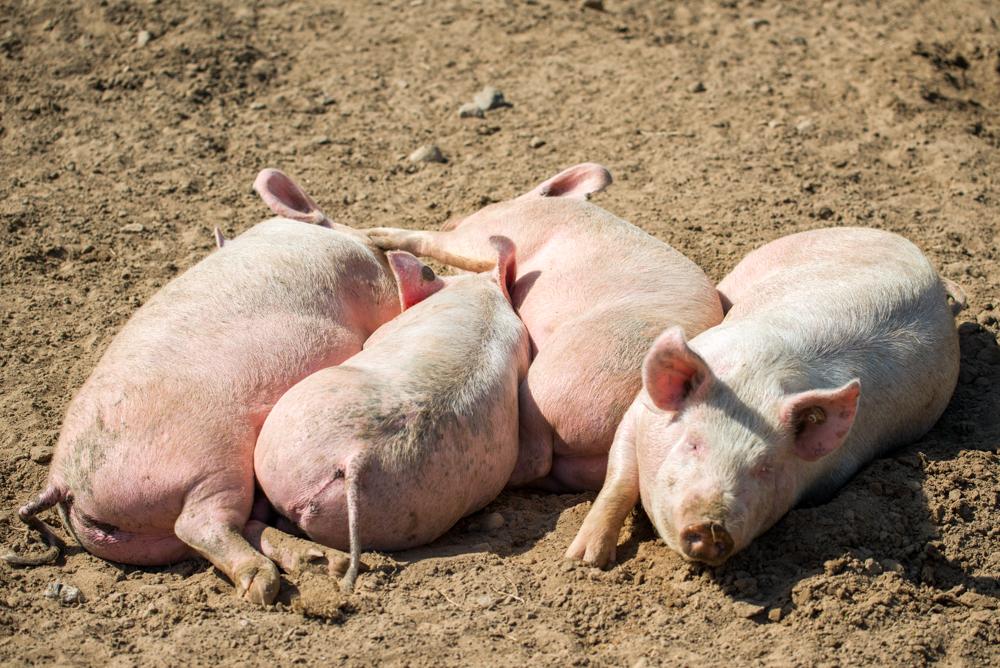 Schweine im Sand